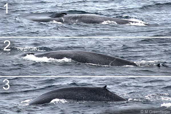 На языке голубого кита могут уместиться около 50 человек ... | 400x600